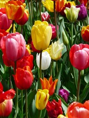 Red_Pink_and_Yellow_Tulip_Flowers_During_Spring